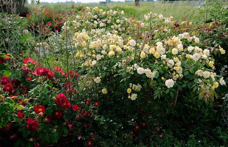 Malvern Hills rose