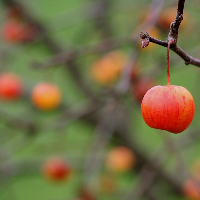 ♪♫♪ Crab apple a cappella ♪♫♪