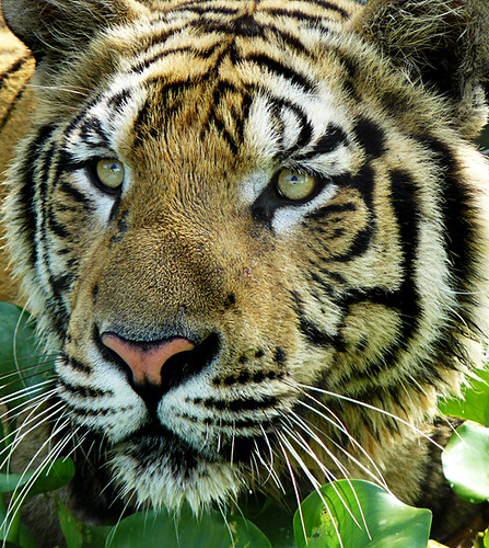 Sumatran Tiger ; i want to see you closer