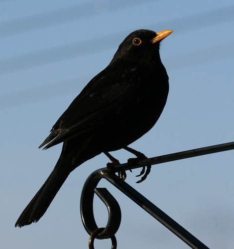 Blackbird & bracket