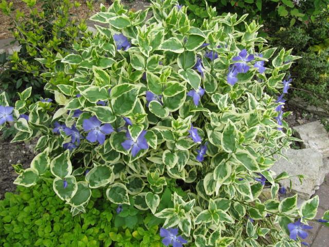 3534514530 1f242c355a - Vinca minor variegata ...