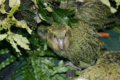 Meet The Kakapo 2