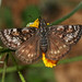 Pacuvius Duskywing - Photo (c) Bill Bouton, some rights reserved (CC BY-NC-ND)