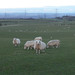 Sheep at Dusk, Dechmont Hill, South Lanarkshire