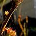 Small photo of Ash-leaf sorbaria