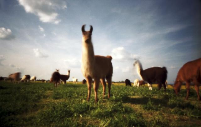 Lamas auf der Alm - Pinhole Photo