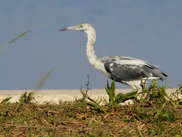 Little Blue Heron 2-20110526