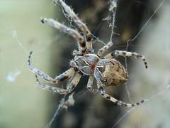 argiope(0.0), yellow garden spider(0.0), araneus(0.0), european garden spider(0.0), wolf spider(0.0), arthropod(1.0), animal(1.0), spider(1.0), invertebrate(1.0), macro photography(1.0), fauna(1.0), close-up(1.0), orb weaver spider(1.0), spider web(1.0),