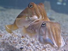 fish(0.0), food(0.0), animal(1.0), molluscs(1.0), marine biology(1.0), marine invertebrates(1.0), fauna(1.0), close-up(1.0), cuttlefish(1.0),