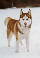 akita inu(0.0), akita(0.0), greenland dog(0.0), northern inuit dog(0.0), saarloos wolfdog(0.0), native american indian dog(0.0), dog breed(1.0), animal(1.0), west siberian laika(1.0), dog(1.0), miniature siberian husky(1.0), siberian husky(1.0), pet(1.0), shikoku(1.0), canadian eskimo dog(1.0), russo-european laika(1.0), east siberian laika(1.0), tamaskan dog(1.0), wolfdog(1.0), norwegian lundehund(1.0), alaskan malamute(1.0), sled dog(1.0), carnivoran(1.0),