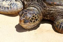 boas(0.0), box turtle(0.0), animal(1.0), turtle(1.0), reptile(1.0), loggerhead(1.0), fauna(1.0), emydidae(1.0), sea turtle(1.0), tortoise(1.0),
