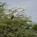 Small photo of African Fish Eagle