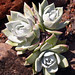 Dudleya - Photo (c) James Gaither, some rights reserved (CC BY-NC-ND)