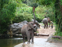 indian elephant, elephant, zoo, elephants and mammoths, recreation, outdoor recreation, fauna, jungle,