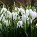 snowdrops, ghiocei - Galanthus