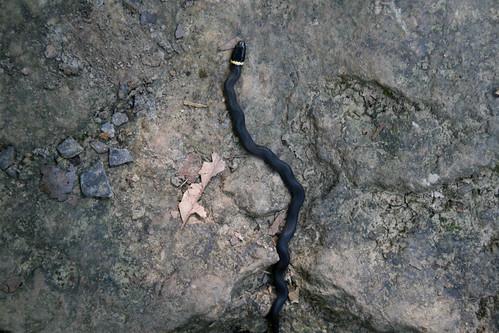 Ring-necked snake, Diadophis puntatus