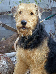 dog breed, animal, dog, schnoodle, pet, cesky terrier, wire hair fox terrier, lakeland terrier, welsh terrier, irish terrier, irish soft-coated wheaten terrier, fox terrier, carnivoran, terrier, airedale terrier,