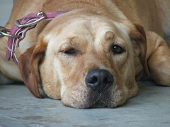 puppy(0.0), tosa(0.0), street dog(0.0), dog breed(1.0), labrador retriever(1.0), animal(1.0), broholmer(1.0), dog(1.0), pet(1.0), mammal(1.0), black mouth cur(1.0),