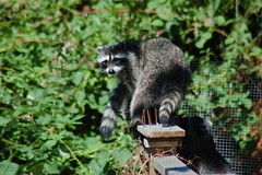 animal, raccoon, zoo, primate, fauna, lemur,