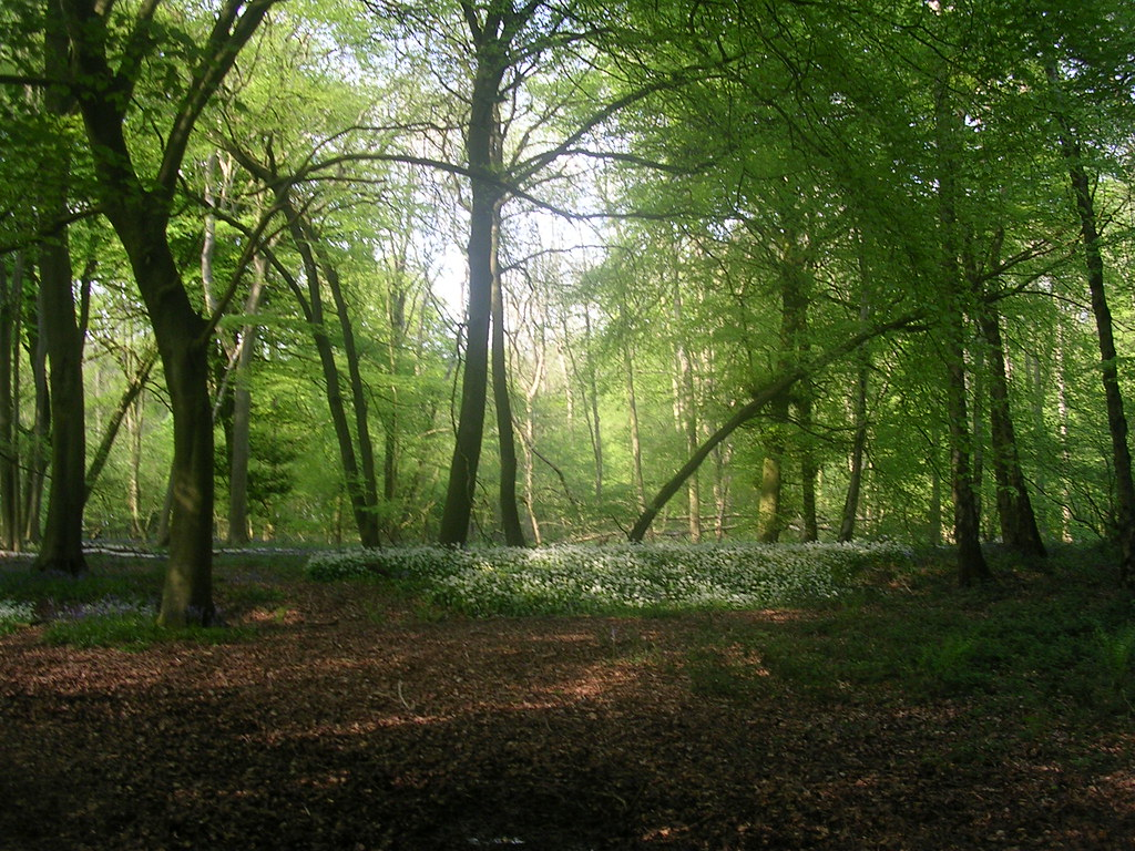 Wood with wild garlic Extra walk: Cholsey to Goring