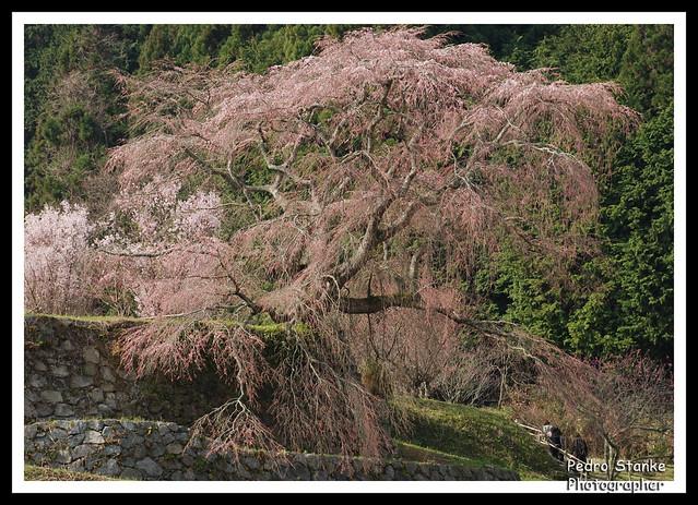 Matabe Sakura, Nara, Japan