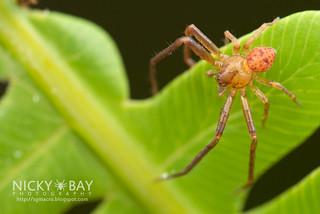 Crab Spider (Pharta sp.) - DSC_4762