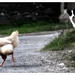 Why the chicken crossed the road...