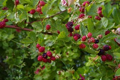 shrub(0.0), flower(0.0), crataegus pinnatifida(0.0), produce(0.0), food(0.0), currant(0.0), schisandra(0.0), rowan(0.0), hawthorn(0.0), blackberry(1.0), tayberry(1.0), berry(1.0), red mulberry(1.0), plant(1.0), wine raspberry(1.0), flora(1.0), fruit(1.0), boysenberry(1.0), dewberry(1.0), mulberry(1.0),