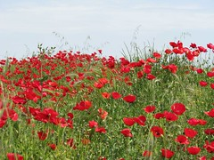 annual plant, prairie, flower, field, plant, wildflower, flora, natural environment, coquelicot, meadow, petal, poppy,