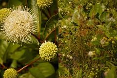 Cephalanthus occidentalis L. - common buttonbush