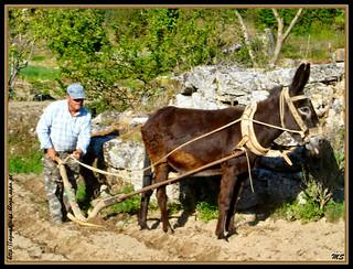 Águas Frias (Chaves) - Lavrar com arado