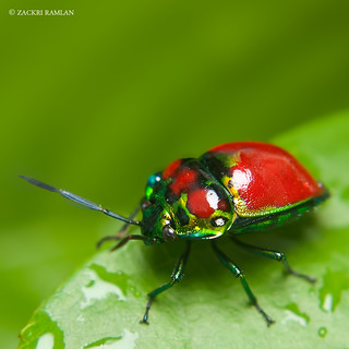 Scutelleridae - Jewel Bug