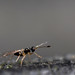 A very small wasp - Mymaridae by Lord V