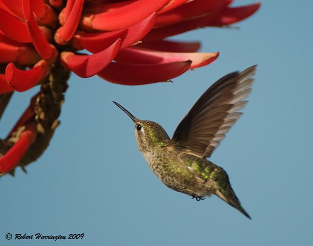 Anna's Hummingbird_6220