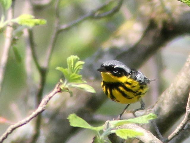 Magnolia Warbler 2-20110510