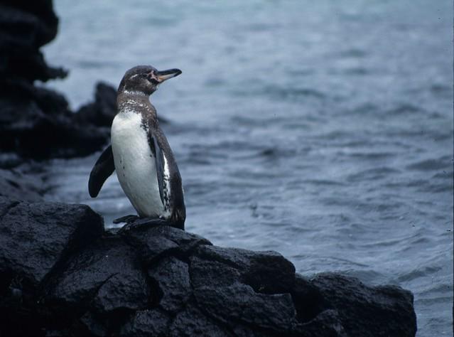 Galápagos Penguin (Spheniscus mendiculus), Galápagos Islands, Ecuador