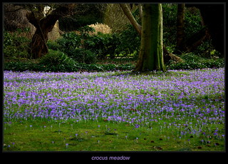 crocus meadow in the Sun