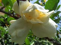 shrub, flower, plant, flora, gardenia, petal,