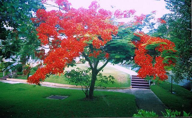 Arbol de fuego flickr photo sharing for Arbol de fuego jardin