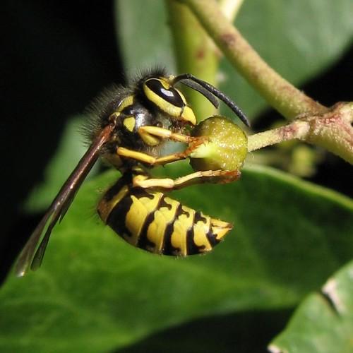 wasp predator