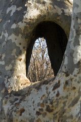 Sycamore Grove hollow tree