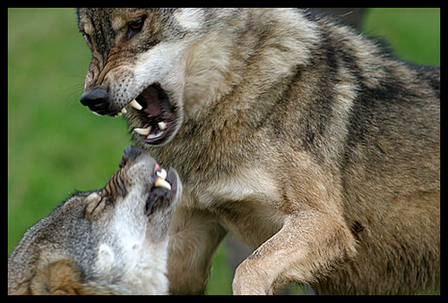 wolves_fighting