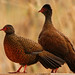 Red spurfowl pair