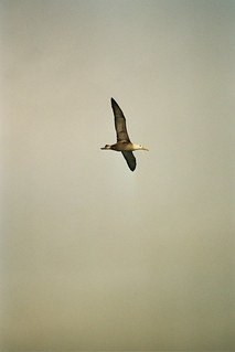 Waved Albatross, Española Island