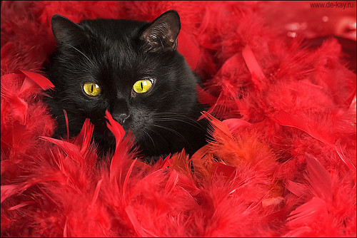Black cat in red feathers