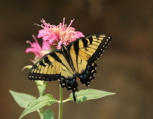 Swallowtail minus one tail