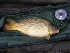 animal, carp, fish, fish, common rudd,