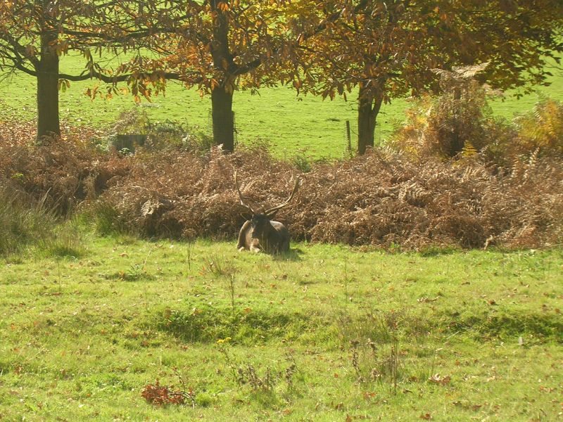 Deer Sevenoaks circular