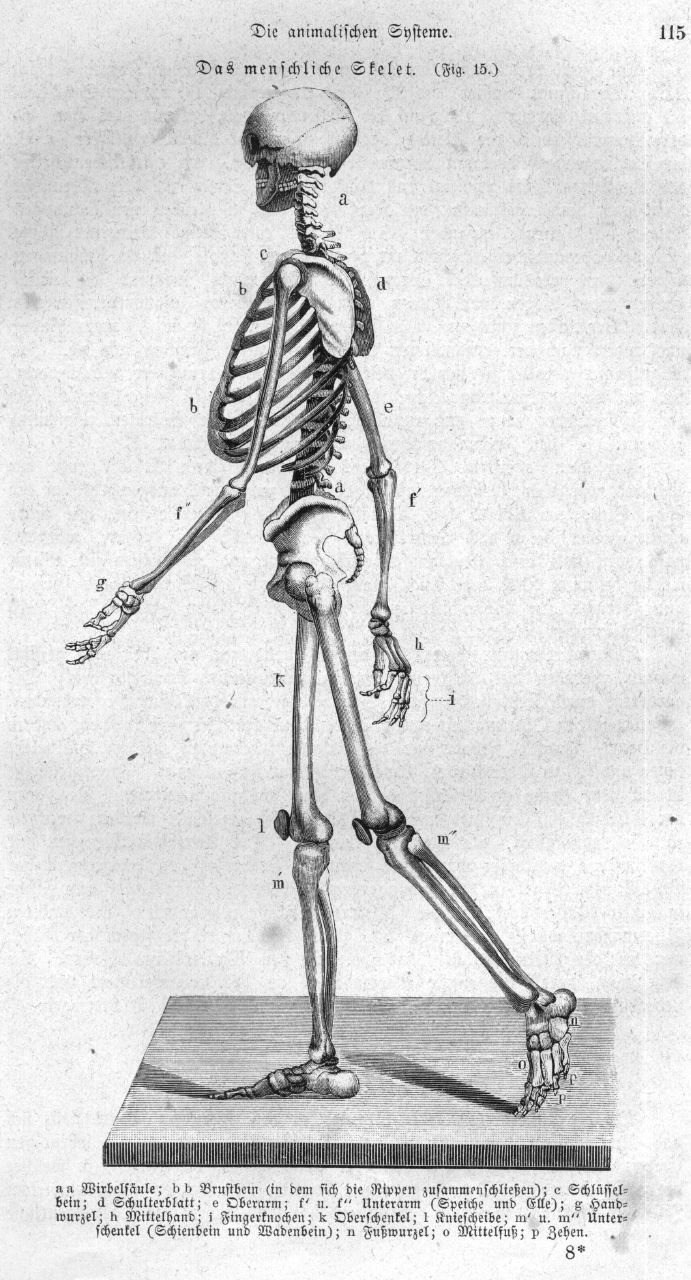 Anatomy of the Human Skeleton & Muscles Learning Outcomes 1 & 2