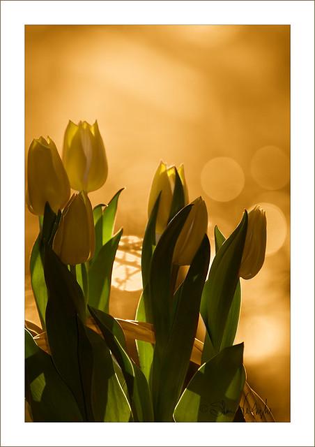 Easter Sun Setting on Tulips